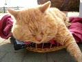 オシンコシンの滝の猫