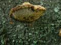 キノコに産卵するハチ
